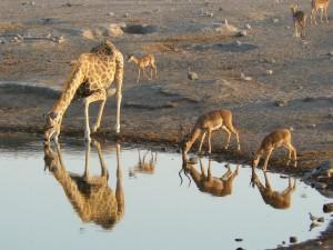 Giraffe_and_Black-faced_Impalas_drinking,_Etosha_National_Park,_Namibia